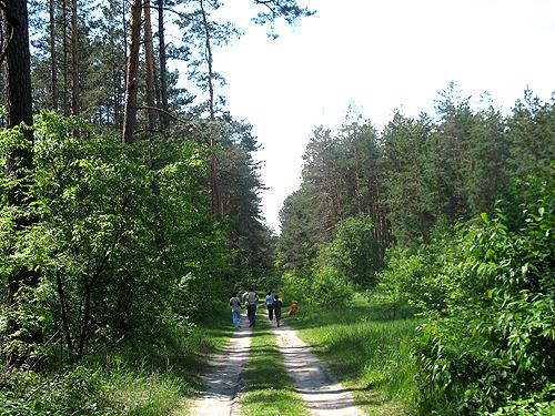 Сосновий ліс у Боярці